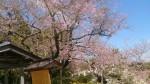 花が少ない今年の 江戸彼岸桜