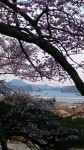 桜の間から大島架橋